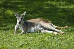 Lounging Kangaroo. A kangaroo lounging on the grass in late afternoon sun Stock Images