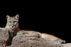 Lounging Lion. A captive mountain lion lounges in the warm sun Royalty Free Stock Photos