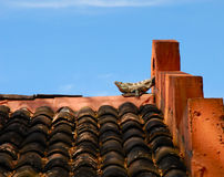 Lounging Lizard. This lounging Iguana is taking in the tropical sun during an afternoon siesta.  The bright orange of the Spanish style abode contrast well Royalty Free Stock Photos