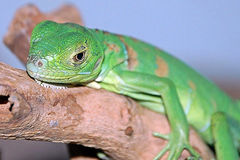 Lounging lizard, lying lazily Stock Images