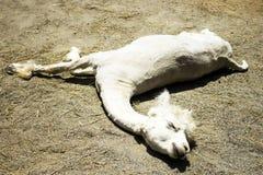 Lounging Llama Stock Image