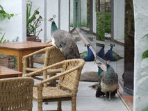Lounging peacocks Royalty Free Stock Images