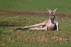 Lounging vermelho do canguru foto de stock royalty free