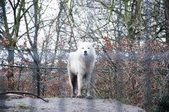 Loup à Amsterdam Photos libres de droits