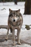 Loup Photographie stock libre de droits