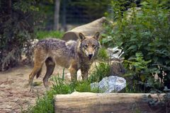 Loup Images stock