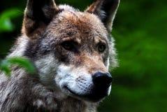 Loup photos stock