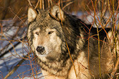Loup Photos stock