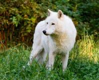 Loup Images libres de droits
