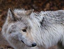 Loup Image stock