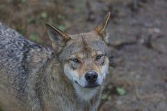 Loup Image libre de droits