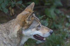 Loup Photos libres de droits
