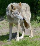 Loup 9 Image libre de droits