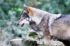 Loup affamé Photos stock