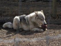 Loup affam? photos stock