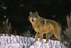 Loup apparaissant du bois de construction Images libres de droits