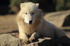Loup arctique photo libre de droits