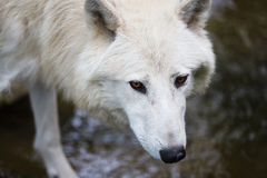 Loup arctique Photo libre de droits