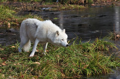 Loup arctique Photos stock