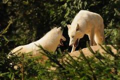Loup arctique (arctos de lupus de Canis) Photo libre de droits