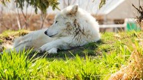 Loup arctique B Photo libre de droits