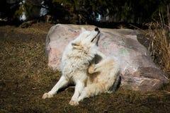 Loup arctique blanc se reposant dans l'éraflure développée de forêt Images stock