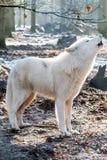 Loup arctique d'hurlement Photographie stock libre de droits
