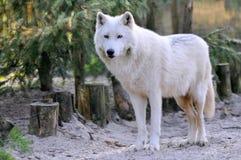Loup arctique dans la forêt Image libre de droits