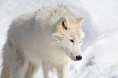 Loup arctique dans la neige Photo stock