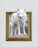 Loup arctique dans le cadre avec l'effet 3d Photos stock