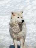 Loup arctique en hiver photo libre de droits