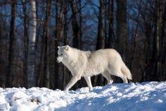 Loup arctique marchant dans la neige d'hiver photographie stock
