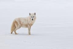 Loup arctique images stock