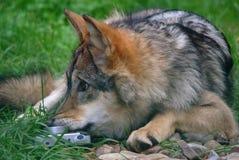 Loup avec l'appareil-photo Photos stock