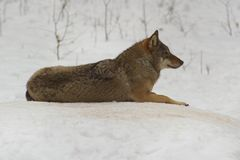 Loup Bialowieza/de Pologne Photos stock