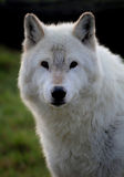 Loup blanc Photographie stock