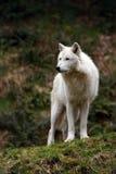 Loup blanc Photographie stock