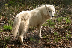 Loup blanc Image stock