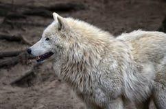 Loup blanc Photos libres de droits