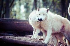 Loup blanc arctique Photographie stock libre de droits