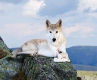 Loup blanc dans la zone de wildness Image libre de droits