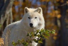 Loup blanc pendant la chute Images libres de droits