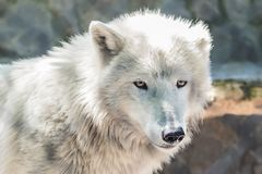 Loup blanc - zoo de Belgrade Photo libre de droits
