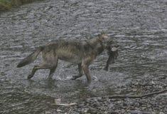 Loup côtier fier avec le crochet images stock