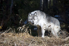 Loup canadien Photos libres de droits
