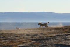 Loup chassant des lièvres Photos libres de droits