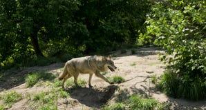 Loup courant dans la forêt Images libres de droits