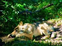 Loup détendant dans la végétation Photos stock