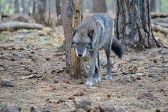Loup d'Alaska de toundra Images libres de droits