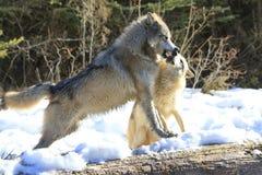 Loup d'Alpha Timber photos libres de droits
